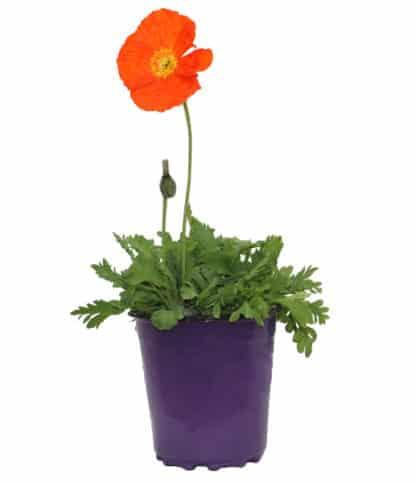 "Papaver Nudicaule ""Iceland Poppy Spring Fever Orange"""