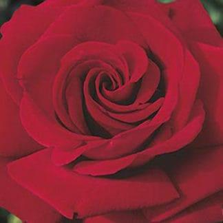 "YES- Rose ""Ingrid Bergman"""