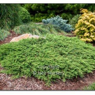 Green Carpet Juniper