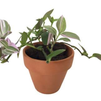 Lilah, the Lilac Wandering Jew