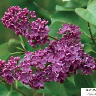 Ludwig Spaeth Lilac