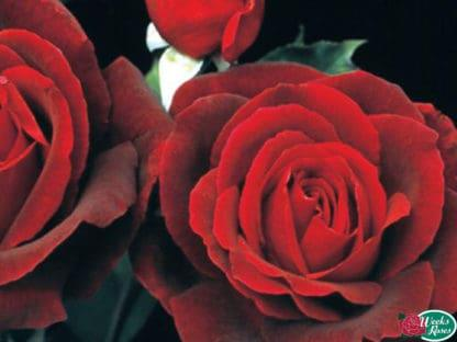 """YES- Rose """"Mister Lincoln"""""""