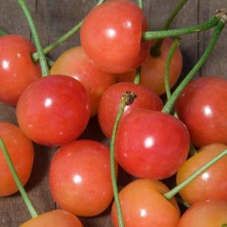 """""""Montmorency"""" Cherry"""