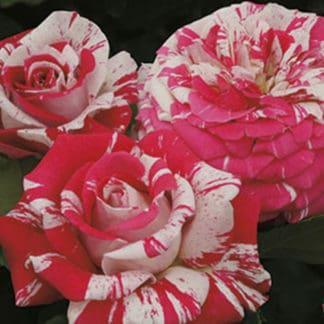 "YES- Rose ""Neil Diamond"""