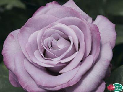 """YES- Rose """"Neptune"""""""