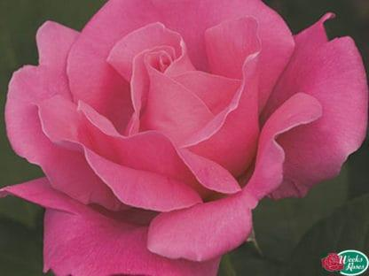 """YES- Rose """"Perfume Delight"""" AARS"""