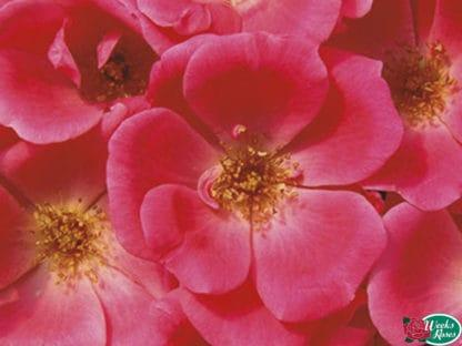 """Rose """"Pink Knock Out"""""""