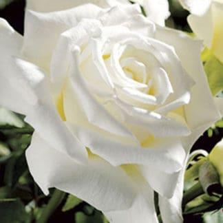 "YES- Rose ""Pope John Paul ll"""