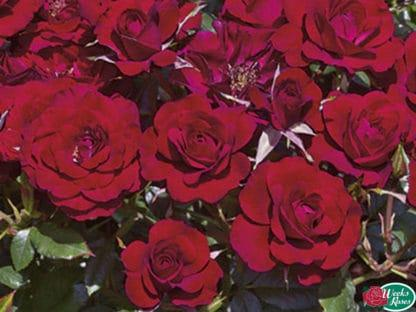 """YES- Rose """"Ruby Ruby"""""""