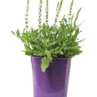 """Salvia Nemorosa """"Lyrical White"""""""