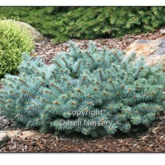 St. Mary's Broom Blue Spruce