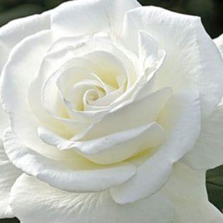 "YES- Rose ""Sugar Moon"""