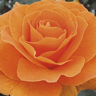 """YES- Rose """"Vavoom"""""""
