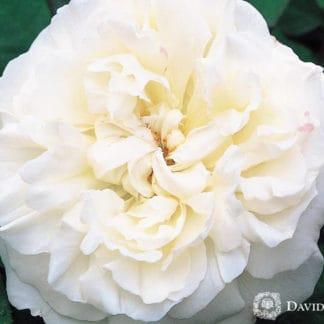 "YES- Rose ""Winchester Cathedral"""