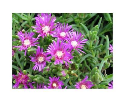 Delosperma cooperi (Purple Ice Plant)