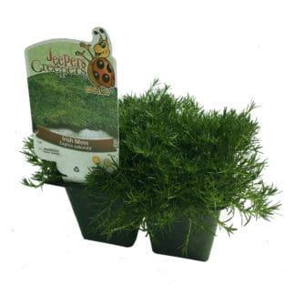 Sagina subulata 'Irish Moss'