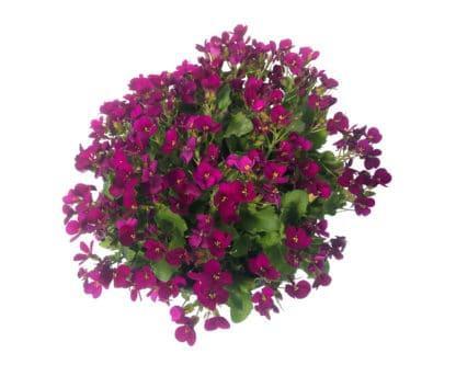 """Arabis caucasica """"Little Treasure Deep Rose"""""""