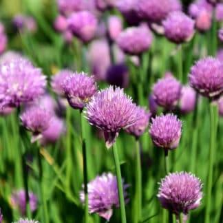 """CHIVES 2.5"""""""