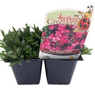"""Dianthus """"Confetti Carmine Rose"""""""