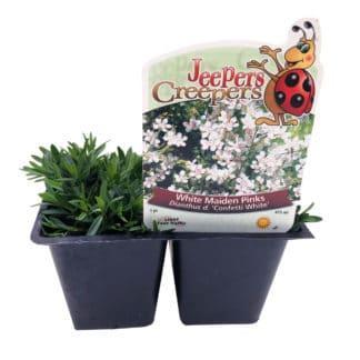 """Dianthus """"Confetti White"""""""