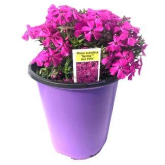 """Phlox subulata """"Spring Hot Pink"""""""
