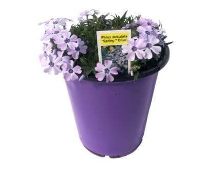 "Phlox subulata ""Spring Blue"""