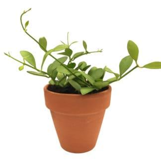 Image of a potted dischidia green apple