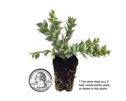 image of dischidia ruscifolia (variegated million hearts) plug with quarter for size reference