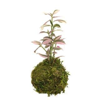 Image of kokedama moss ball planted with lilac tradescantia, class example