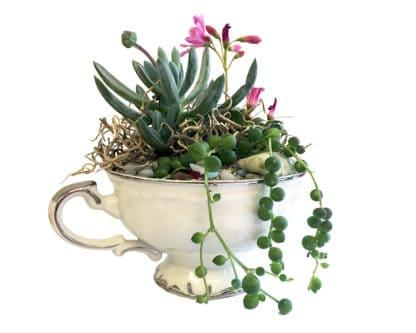 Vintage teacup planted with succulent plugs and decorative stones, class example