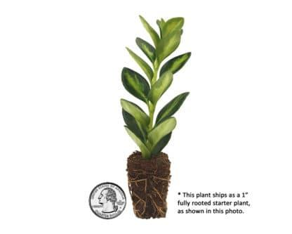 Image of variegated goldfish plant plug with quarter for size reference