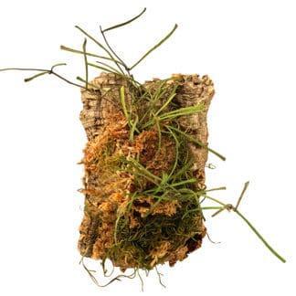Photo of Cork Mounted Hoya Retusa for class example