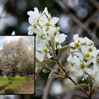 "Image of ""Autumn Brilliance"" serviceberry tree and blossoms"