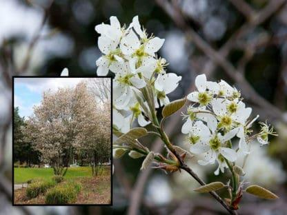 """Image of """"Autumn Brilliance"""" serviceberry tree and blossoms"""