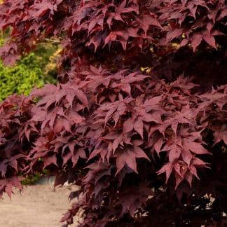 """image of """"Bloodgood"""" Japanese maple"""