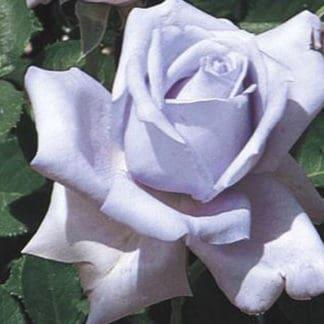 "Image of a ""Blue Girl"" Rose"