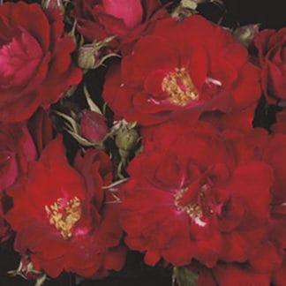 "Image of the ""Champlain"" rose bush"