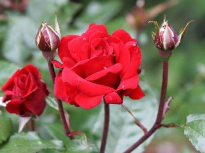 """Image of """"Crimson Bouquet"""" rose bush"""
