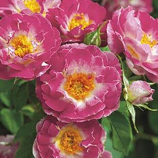 """Image of """"Cupid's Kisses"""" climbing rose"""