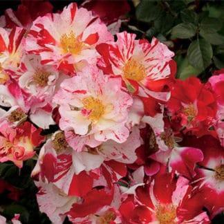 "Image of ""Fourth of July"" rose bush"