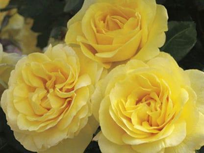 "Image of ""Happy Go Lucky"" rose bush"