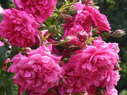 "image of ""Laguna"" climbing rose bush"