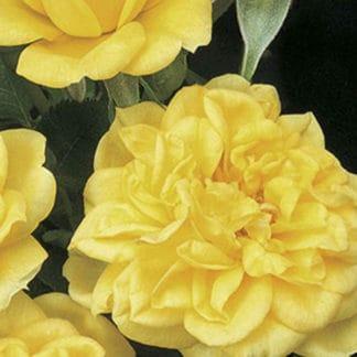 "image of ""Lemon Drop"" miniature rose bush"