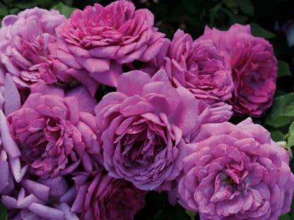 "image of ""Life's Little Pleasures"" rose bush"