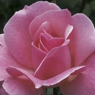 "image of the ""Queen Elizabeth"" grandiflora rose bush"