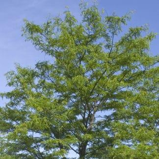 "image of ""Shademaster"" honeylocust tree"