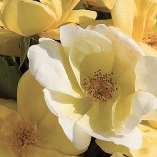 "image of ""Sunny Knockout"" rose bush"