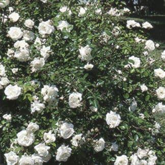 """image of """"White Dawn"""" climbing rose bush"""