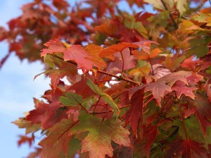 """Image of """"Flame"""" maple tree"""