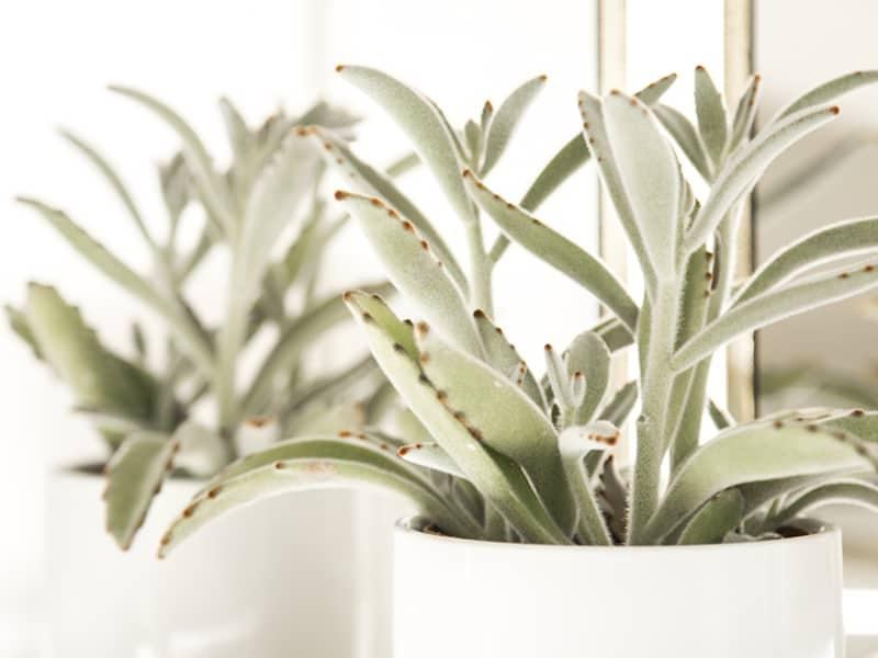 image of potted panda plant for pettable plants blog header